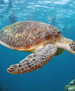 Snorkelling with turtles
